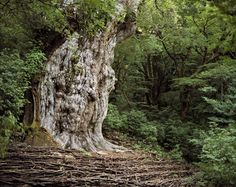 A thriving cedar tree on a Japanese island. Japan is one of the world's most heavily forested countries, which is remarkable considering that Japan is also one of the world's most densely populated countries. Oh, and the tree is over 7,000 years old.    Yakushima, Japan