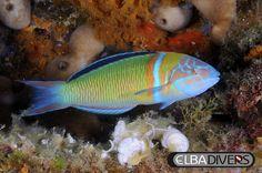 Donzella Pavonina, immersioni isola d'elba, scubadiving, mediterraneo