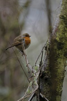 boddle (Steve Hart) posted a photo:  Brandon Woods 22nd January 2017  Winter 2016/17  # #wild #wilds #wildlife #nature #natural #boddle #winter #canon5d4