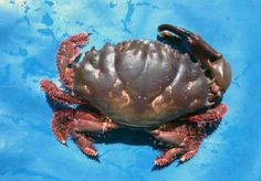 The Xanthid Crab