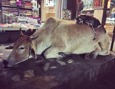 Late at night in the labyrinthine backstreets of above the Ganga river ghats we stumbled upon this charming demonstration of / mutual cooperation! Super Cute Animals, Piglets, Varanasi, Late Nights, Snuggles, Fur Babies, Baby Animals, Besties, Cow