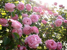 cách trồng hoa hồng ngoại