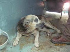 awesome Heartbreaking senior German shepherd in pound and not using a public adoptions