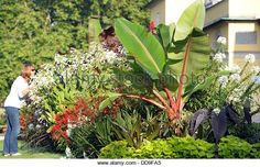 Image result for tropical plant canna lily castor bean