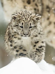Snow Leopard cub. SO CUTE AND FUZZY