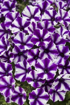 The petite pinwheel blooms of Supertunia Violet Star Charm Petunia will delight all summer long!