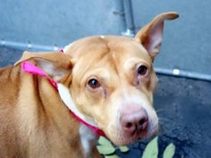 Manhattan Center  HENESSY - A1020129 *** BEGINNER HOME ***  FEMALE, TAN / WHITE, CHOW CHOW / PIT BULL, 4 yrs OWNER SUR - EVALUATE, NO HOLD Reason MOVE2PRIVA  Intake condition EXAM REQ Intake Date 11/09/2014, From NY 10474, DueOut Date 11/09/2014, Main thread: https://www.facebook.com/photo.php?fbid=904697326209814