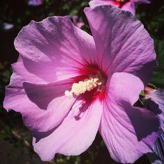 Hibiscus #flowers #garden #nature #outdoors #plants #hibiscus