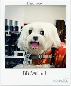 Isn't BB Mitchell a beautiful dog?  www.dogfashionspa #dogmodels #dogfashion #dogproducts