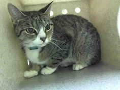 NYC Urgent Cats Staten Island Center My name is FARRAH. My Animal ID # is A0450966. I am a female gray tabby and silver domestic sh. The shelter thinks I am about 13 YEARS old. I came in the shelter as a STRAY on 03/25/2015 from NY 11224, owner surrender reason stated was ABANDON.