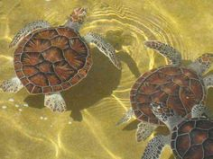 loggerhead sea turtles from a turtle farm in the Cayman Islands.