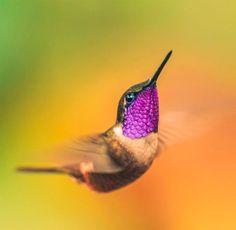 La nature regorge d'animaux plus beaux les uns que les autres et les colibris font partie des oiseaux les plus magnifiques qui existent. Ils possèdent une beauté unique et ce grâce à leur plumageaux mille couleurs étincelantes ! Un vrai régal&n...