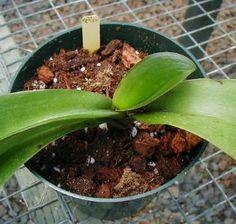 Repotting phalanopsis orchid. Potting soil mix/recipe.