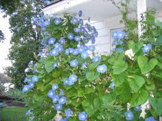 """""""A morning glory at my window side satisfies me more than the metaphysics of books."""" Walt Whitman"""
