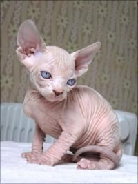 peterbald kittens - I think you either love em or hate em when it comes to hairless cats. Personally I love em!