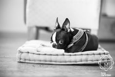 Boston terrier, Balder on a very cool little dog bed