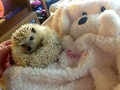 ~Twiggy Prickles in his new embroidered hooded towel~