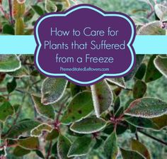 How to Care for Plants that were damaged by a Freeze