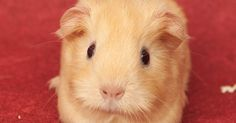 The Guinea Pig Daily: Almond