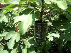 Fig Tree Propagation-works for Hydrangeas too.