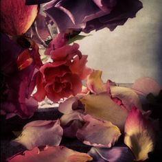 roses from my garden, july 7th 2013 by nick knight.