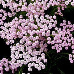ACHILLEA millefolium 'Lilac Beauty' (Achillée - Achillée millefeuille) : Vaste famille à floraison estivale. Les plus hautes sont d'excellentes plantes de plates-bandes. Les plus basses garnissent rocaille, dallage, muret. Toutes aiment les situations ensoleillées et supportent parfaitement les sols secs. Aromatique. Rabattre après floraison. Touffes dressées, vigoureuses. Feuillage vert finement découpé. Fleurs rose lilacé frais.