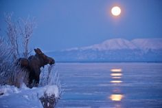 under a Winter moon near Anchorage, Alaska. - by Marc Lester Photo Moose Pictures, Animal Pictures, Anchorage Alaska, Talkeetna Alaska, Alaska Travel, Alaska Trip, Fauna, Animals Beautiful, Nature Photography