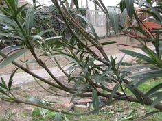 Leander metszése – Nőknek kertről. Plants, Tea, Planters, Teas, Plant, Planting