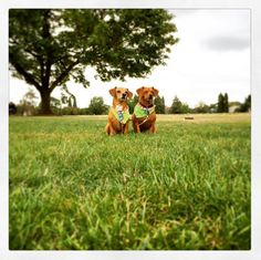 Best buds at Fernhill Park - Portland, OR - Angus Off-Leash #dogs #puppies #cutedogs #dogparks #angusoffleash #portland #oregon