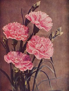 <3 Carnations made to order for a Gamma Phi Beta