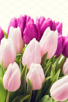 Beautiful pink and purple tulips on
