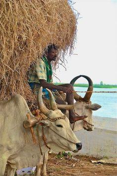 Man on bullock cart - India, Asia Religions Du Monde, Cultures Du Monde, We Are The World, People Around The World, Namaste, Pakistan, Village Photography, Photography Poses, Amazing Photography