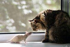 Érase un ratón que se hallaba en constante estrés por miedo al gato...