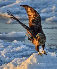 Aigle et glace -
