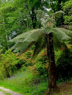 Tasmanian tree ferns (Dicksonia)