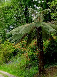 Tasmanian tree ferns (Dicksonia)