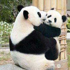baby panda bears Can you do a panda thread? Here you go Enjoy source panda_lover_ig Funny Panda Pictures, Panda Images, Panda Funny, Animal Pictures, Panda Panda, Panda Kindergarten, Cute Baby Animals, Funny Animals, Wild Animals