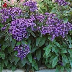 Heliotrope small annual for containers or edging.