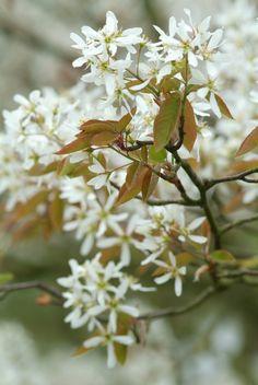 Amelanchier lamarckii (krentenboompje) in pot Trees And Shrubs, Flowering Trees, Trees To Plant, Back Gardens, Small Gardens, Outdoor Gardens, Bonsai Garden, Garden Trees, Pyrus