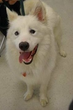 """MD GAVIN -- Samoyed/Husky -- male -- 4 yrs - 52 lbs-- white -- Smiley Face Gavin started out his """"DAWG life"""" as a silly happy pup, but after a bout of GI problems, he seemed to change. As a result, he has become wary of some people...at times, even..."""