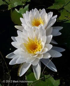 Florida Native the White Waterlily...isn't she amazing.