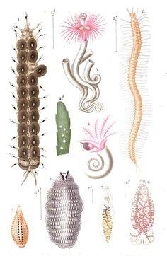 Annélides ou vers #annélides (de annellus, petit anneau) rassemble des vers à sang rouge, à corps très allongé, mou, et dont la peau, qui offre souvent des reflets irisés, est divisée transversalement en un grand nombre d'anneaux. Sur leur tête, ils ont des filaments appelés antennes #numelyo #océan #bestiaire