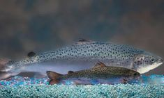 This undated photo provided by AquaBounty Technologies shows two same-age salmon, a genetically modified salmon, rear, and a non-genetically modified salmon, foreground.