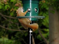 """""""Say aaaaaahhhhhhh"""". No matter how wide you try to stretch your little mouth open, you will sadly not be able to reach the seeds inside of this feeder. After all, it's your weight that closes the feeder, preventing you from reaching the seeds. You're better off looking for food in the forest, or if a kind stranger offers you some peanuts."""