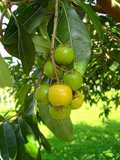 Muricí guaçú (Byrsonima lancifolia)