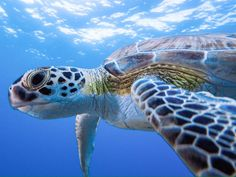 Types of Tortoise for Pets – Find Your Favorite Cute Turtles, Sea Turtles, Worlds Cutest Animals, Cute Animals, Beautiful Sea Creatures, Animals Beautiful, Kawaii Turtle, Tortoise Turtle, Turtle Love