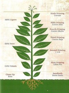 We discuss the anatomy of different tobacco plants & explain the different types of tobacco leaves which make up the filler, binder, and wrapper of cigars.