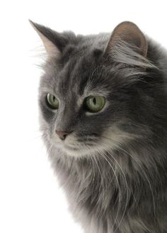 362893a074ae87 Interesting facts about Turkish Angora cats   my Humane Society kitten