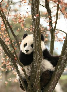 Information about types of pandas that exist in the world. Not only that, you can find fun facts about giant pandas and red pandas too. Cute Wild Animals, Animals Beautiful, Animals And Pets, Funny Animals, Nature Animals, Niedlicher Panda, Panda Love, Cute Panda Baby, Wild Panda