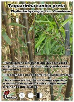Nome Científico: Phyllostachys nigra. Nome Popular: Taquarinha caniço preta. Família: Gramineae Categoria: Bambusas Variedade: Taquarinha